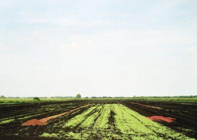 radishes-copy